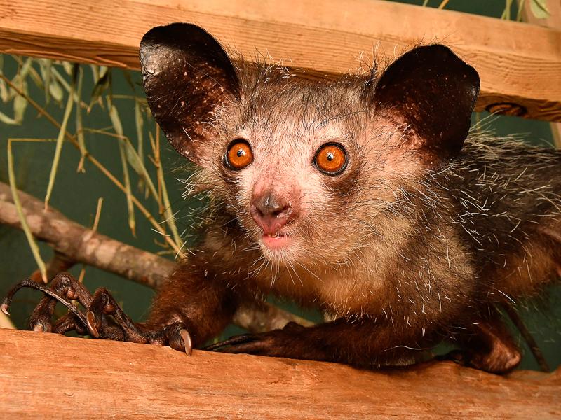 Aye aye at Duke Lemur Center