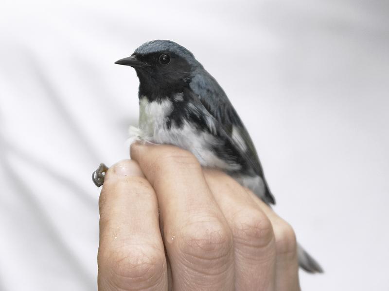 Black-throated blue warbler being held for banding