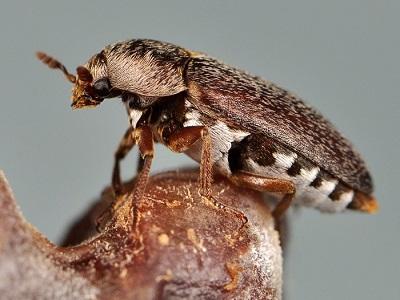 Eaters of the Dead, Dermestid Beetles