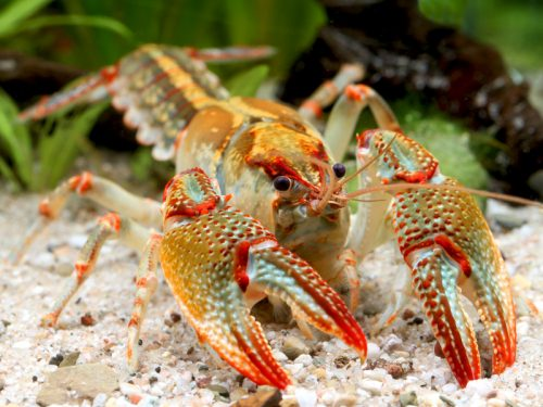Jewel Mudbug: New Species of Burrowing Crayfish Identified