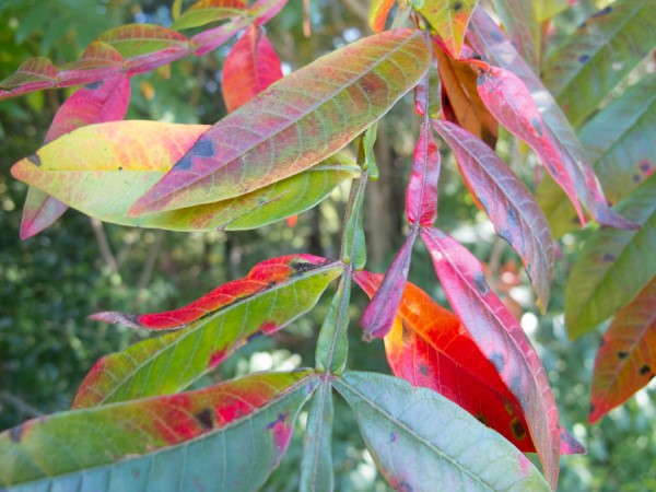 Winged sumac leaves are turning green!