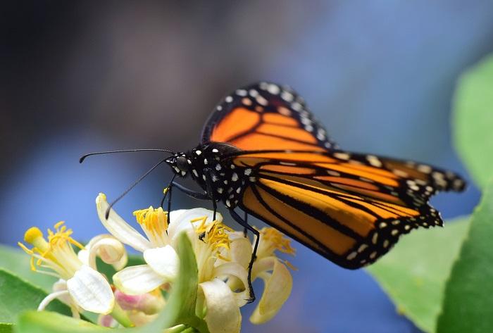 Monarch, lit by the sun from behind, drinks from a flower. The light passes through its wings softly.