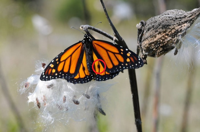 A male monarch rests on a milkweed plant, fuzzy and white!