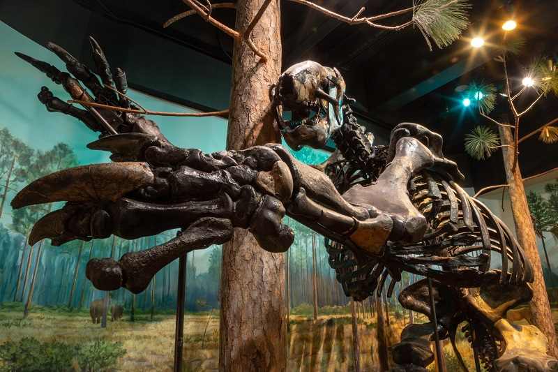A giant sloth skeleton in our exhibits. It's big and age has turned the bones a deep brown.