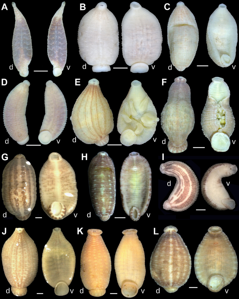 Dorsal (d) and ventral (v) views of the holotypes of new taxa and representative specimens of new leeches recently discovered inside freshwater mussels. Image credit: Anna L. Klass.