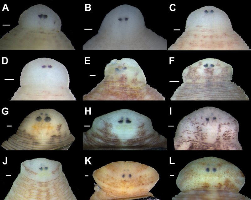 Eye position and shape in the holotypes of new taxa and representative specimens of new leeches recently discovered inside freshwater mussels. Image credit: Anna L. Klass.
