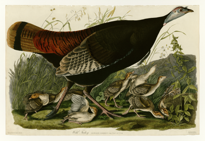 An illustration of a mother turkey and several of her babies. The babies have white bellies and wings and the mother is MUCH bigger. She stands over them protectively.