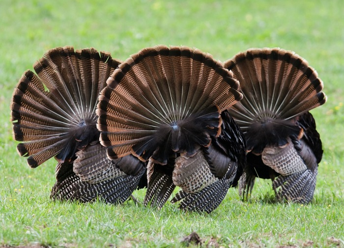 Those three turkeys from before? Now they're from behind! Their fanned tail feathers are so broad!