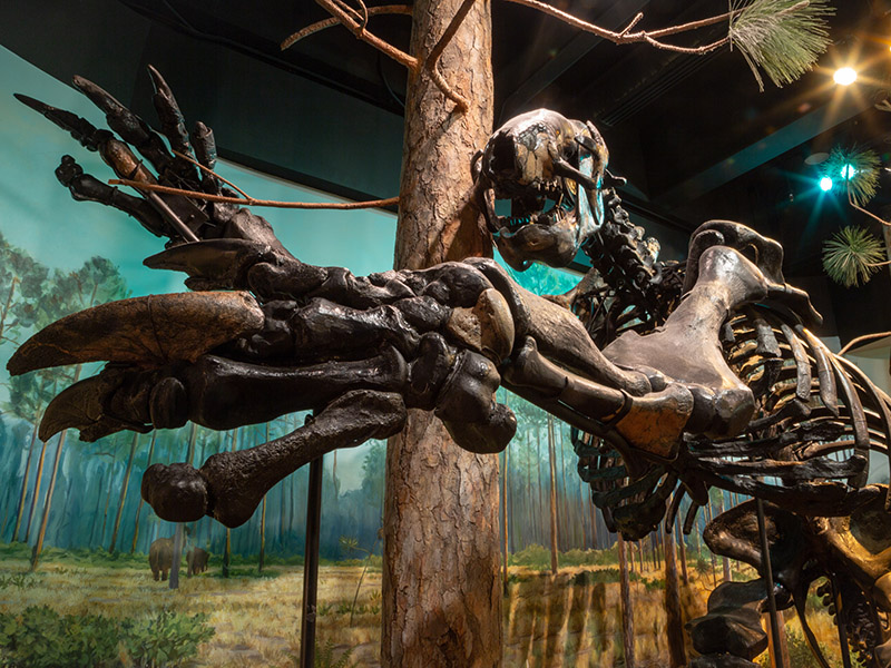 A giant sloth skeleton in our exhibits.