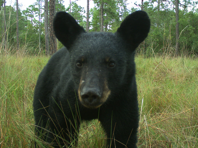 Black bear captured by the Candid Critters Project.
