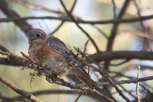 Female eastern bluebird feeding on poison ivy berries.