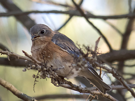 What Do NC Native Birds Eat in the Winter?