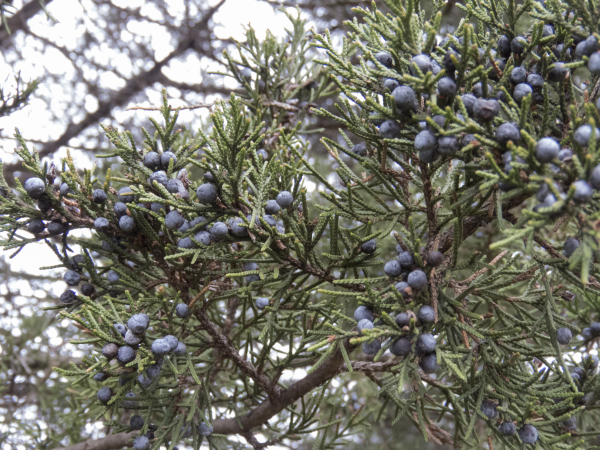 Eastern red cedar foliage with berries.