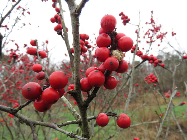 Winterberry holly berry clusters.