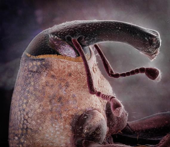 Dryophthorine Weevil by Daniel Kariko.