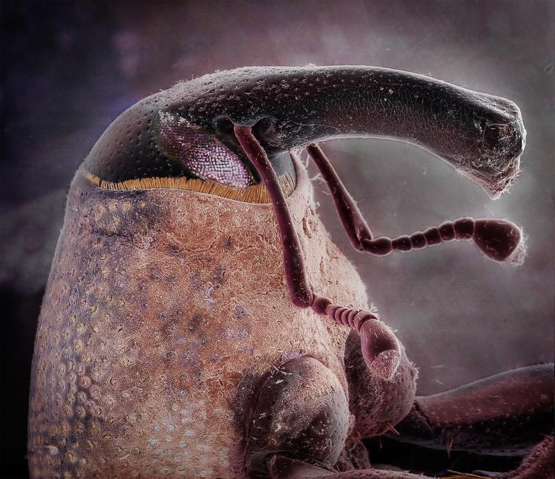 Dryophthorine Weevil by Daniel Kariko