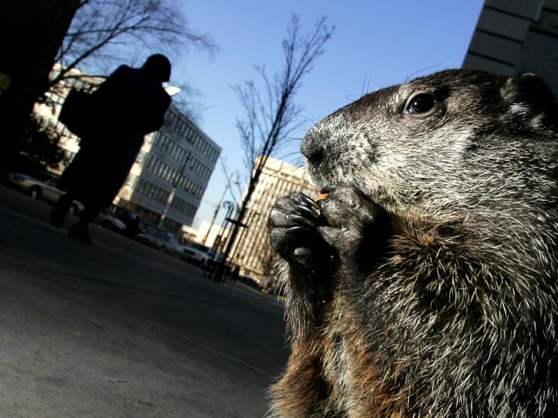 Sir Walter Wally the groundhog