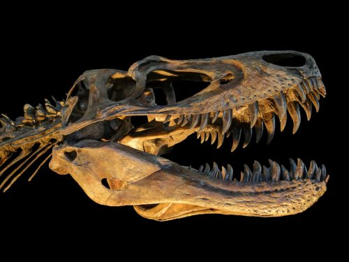 New research suggests 'Nanotyrannus' specimens were actually juvenile T. rex