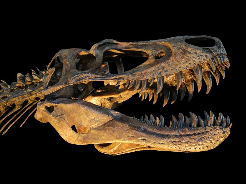 Juvenile T. rex cast in the Nature Research Center, NCMNS
