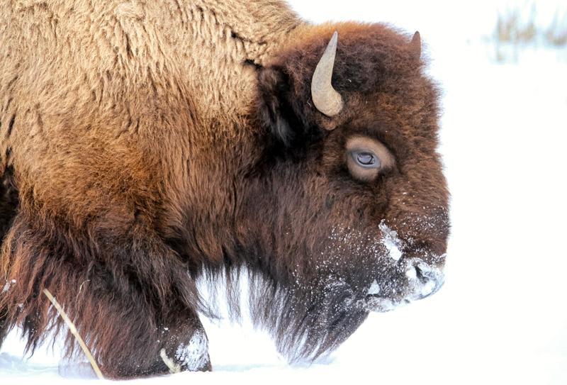 Snowy bison in Lamar Valley.