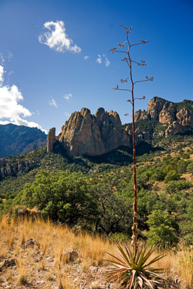 Agave with seed stalk in the Chiricahua Mountains.
