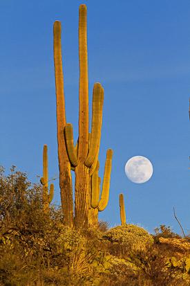 Saguaro at moonrise