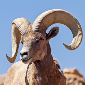 Bighorn sheep in Arizona-Sonora Desert Museum in Tucson.
