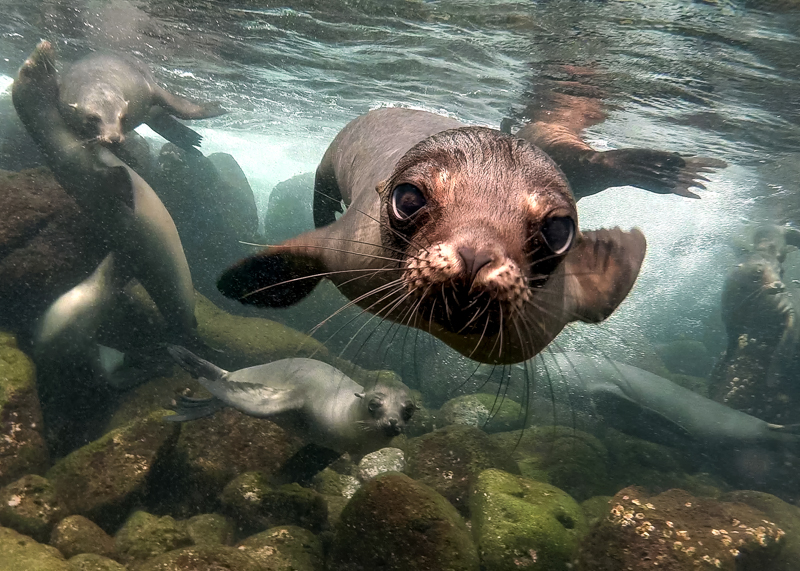 An underwater photo of a curious sea lion.