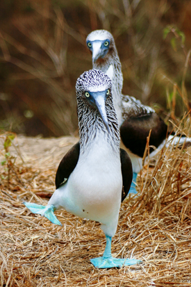 A Blue-footed Booby performs a courtship dance.