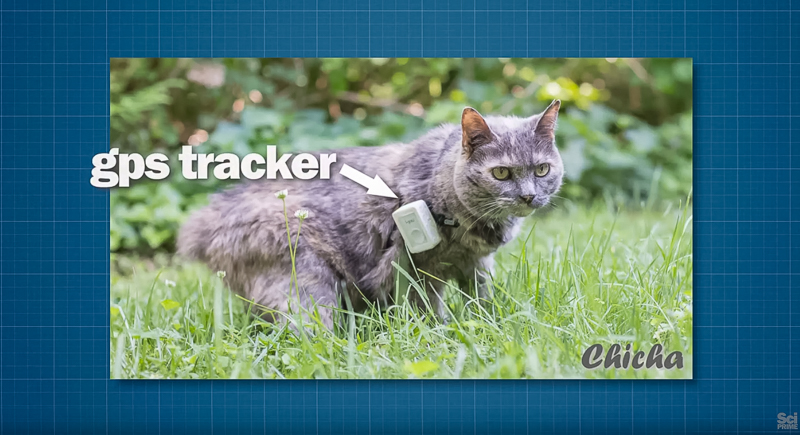Cat wearing GPS tracker.