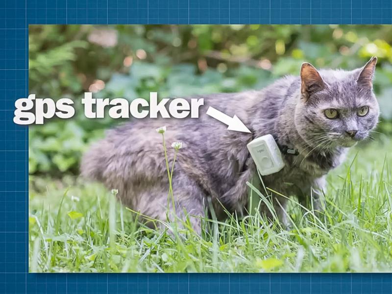 Cat wearing GPS tracker.