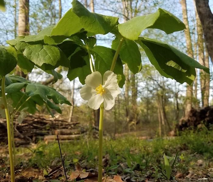 Another Mayapple bloom.