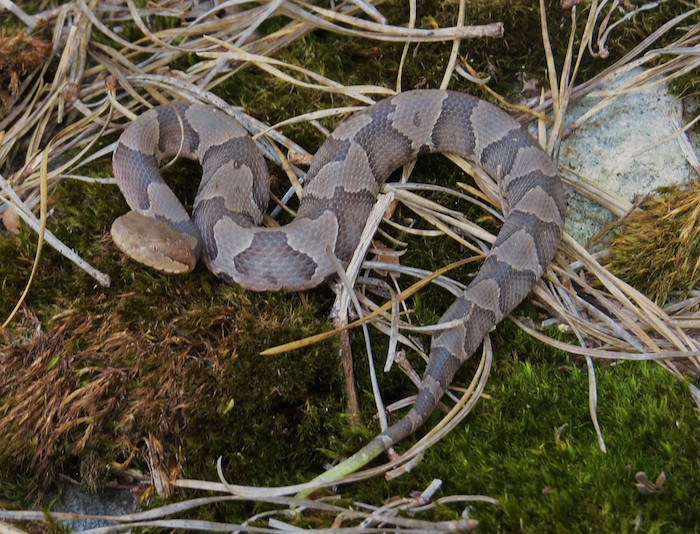 A copperhead lies in the brush.