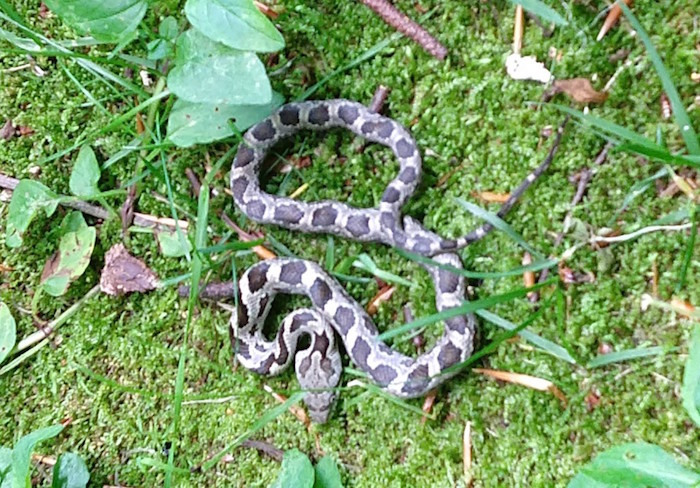 A submitted photo of a ratsnake.