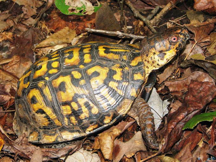 A turtle with a spotted shell crawls amongst dead leaves on the ground.