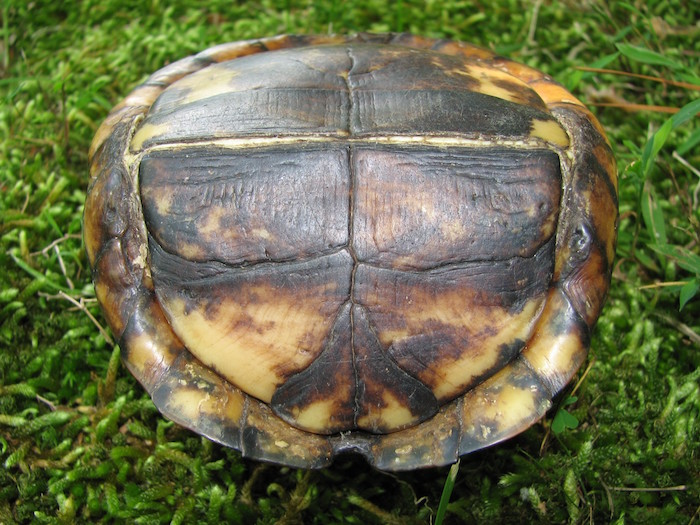 A closed box turtle shell upside down.