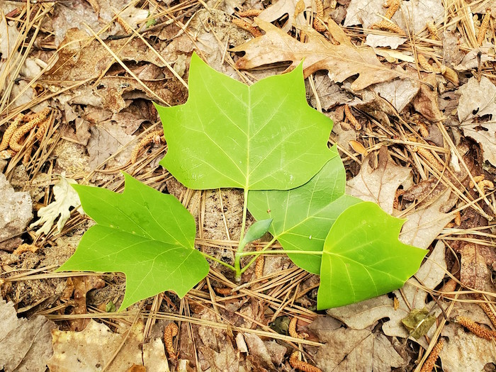 Leaves of a tulip tree.