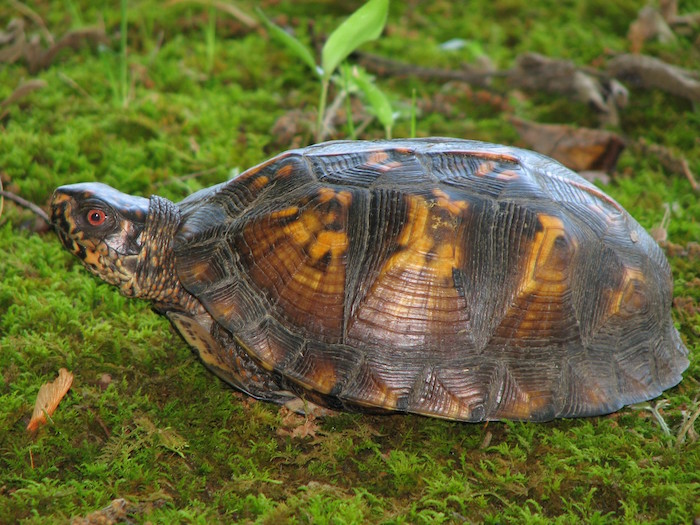 Eastern box turtle sits in grass.