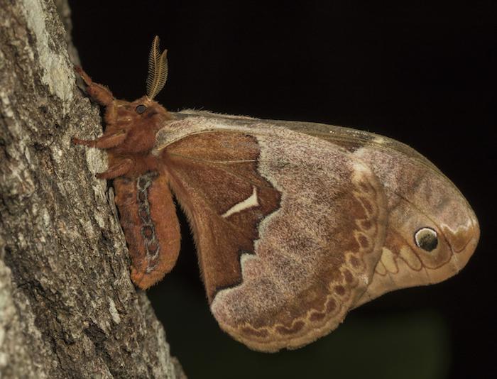 Tulip tree silk moth