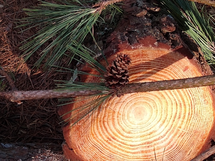 A pinecone hangs above a sliced tree.
