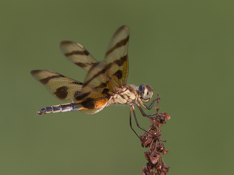 Dragonfly perched on stem.