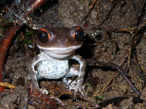 A closer look at spectacular red-eyed forest frogs reveals a new species