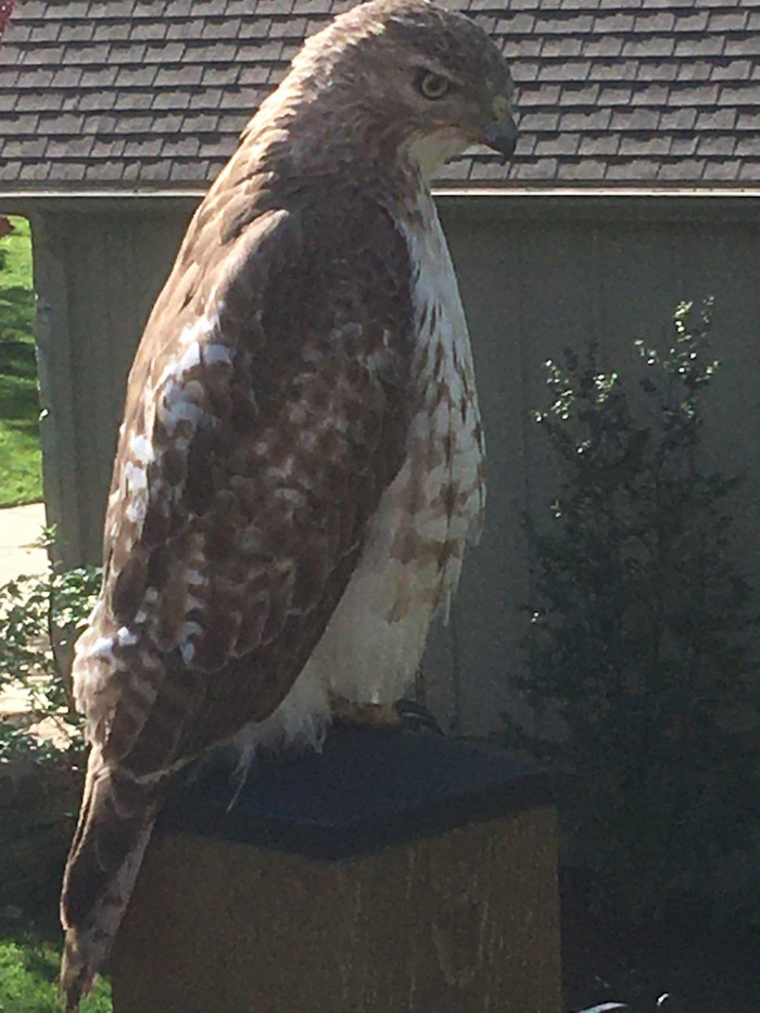 A red-tailed hawk sits on a fence.