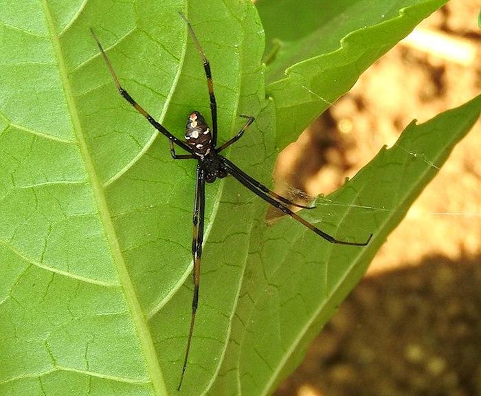 A male black widow.