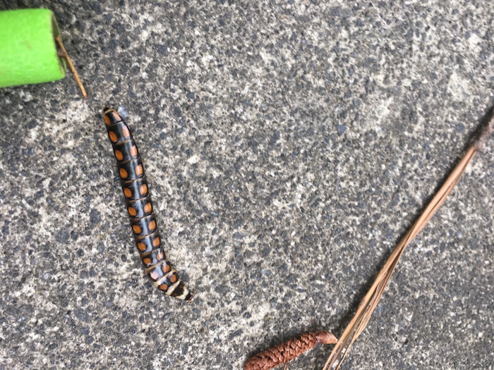 An insect with spots crawls along a concrete fround.