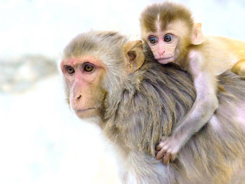 Monkey carrying infant monkey on back