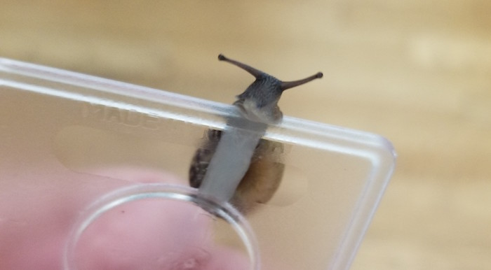 A small snail.