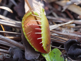 Venus fly trap getting ready to close.