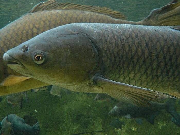 A grass carp.