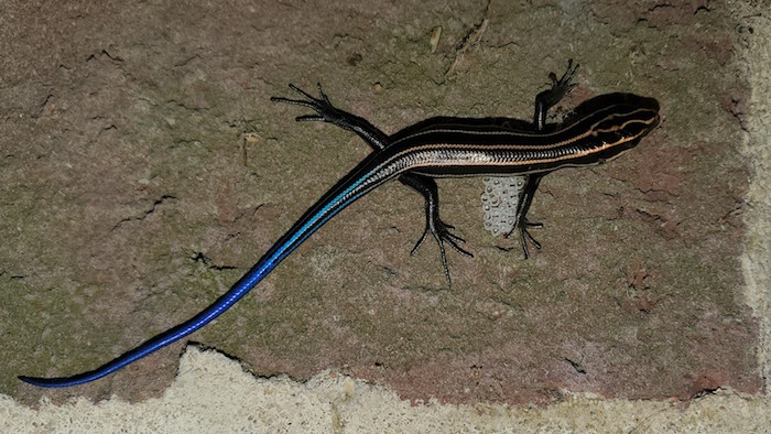 A lizard with a blue tail.